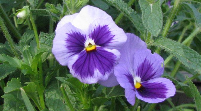 Enjoying Edible Flowers
